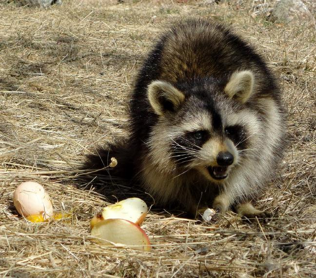 Raccoon eating eggs pictures to pin on pinterest thepinsta for Do raccoons eat fish