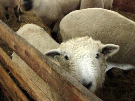 SheepHead2