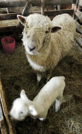 SheepLamb